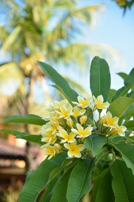 クラトン・ジンバラン・ビーチ・リゾート<br /> ガーデンに咲き乱れるプルメリア