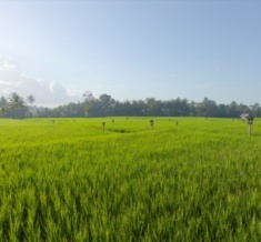 Paddy Field View